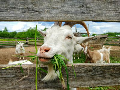 Best Goat Breeds to Raise for Meat