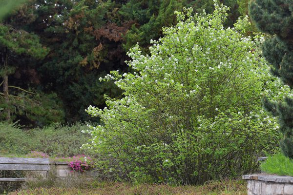 Saskatoon serviceberry shrub with small white flowers and bright green flowers in front of wooden fence