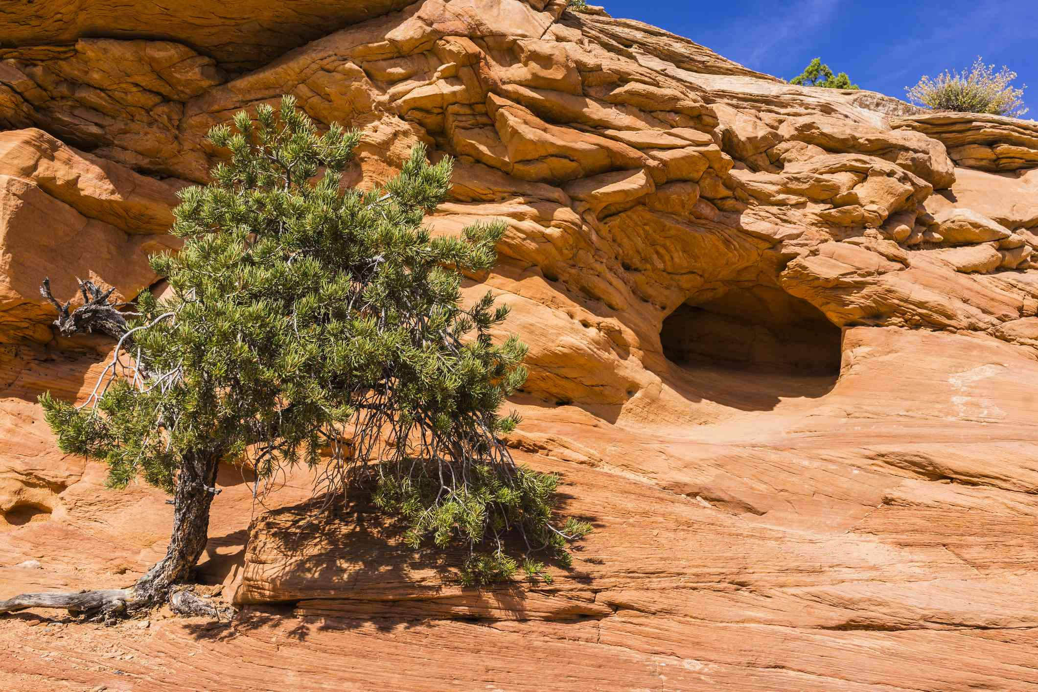Canyonlands National Park. Pinyon pine and cave near Mesa Arch