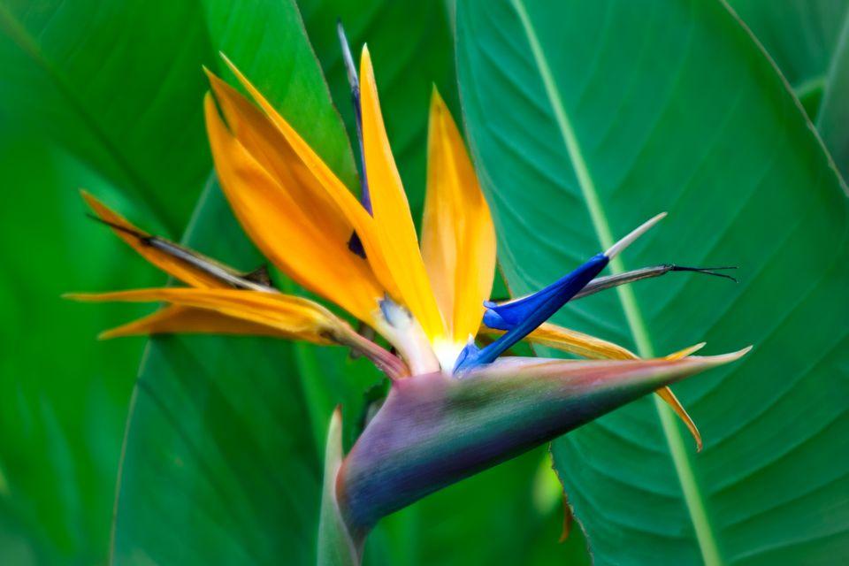 Strelitzia Reginae flower closeup