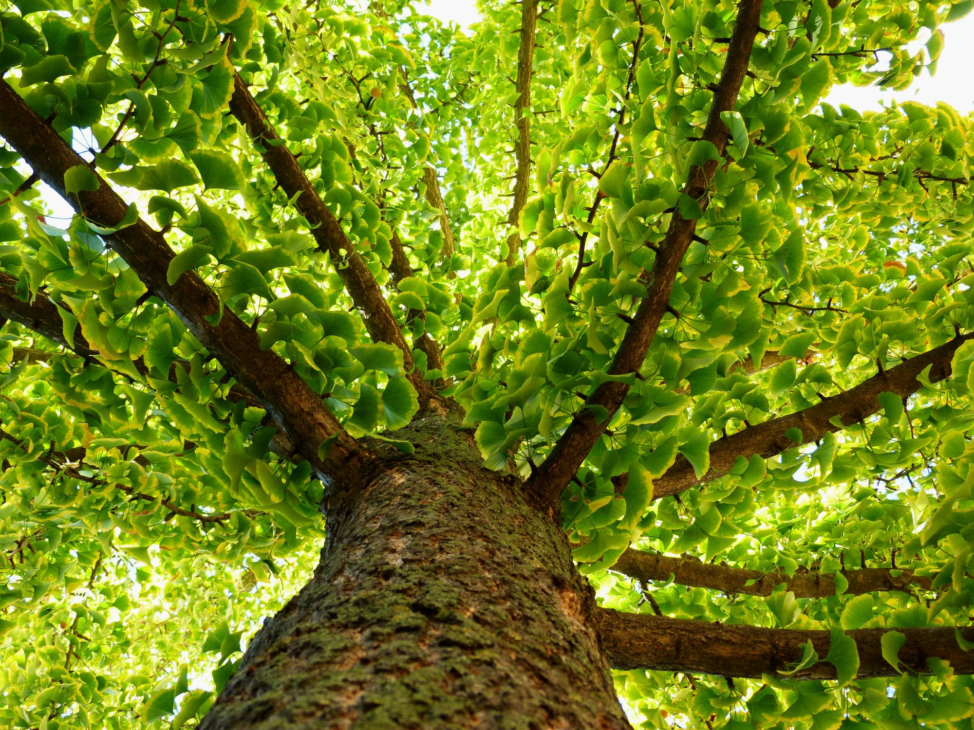 Ginkgo Biloba Tree Care And Growing Guide