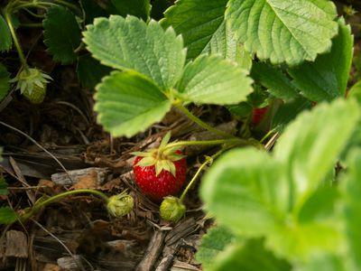 Strawberry fruit hanging on thin stem under strawberry leaves