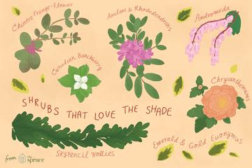 Illustration of shrubs that like shady gardens