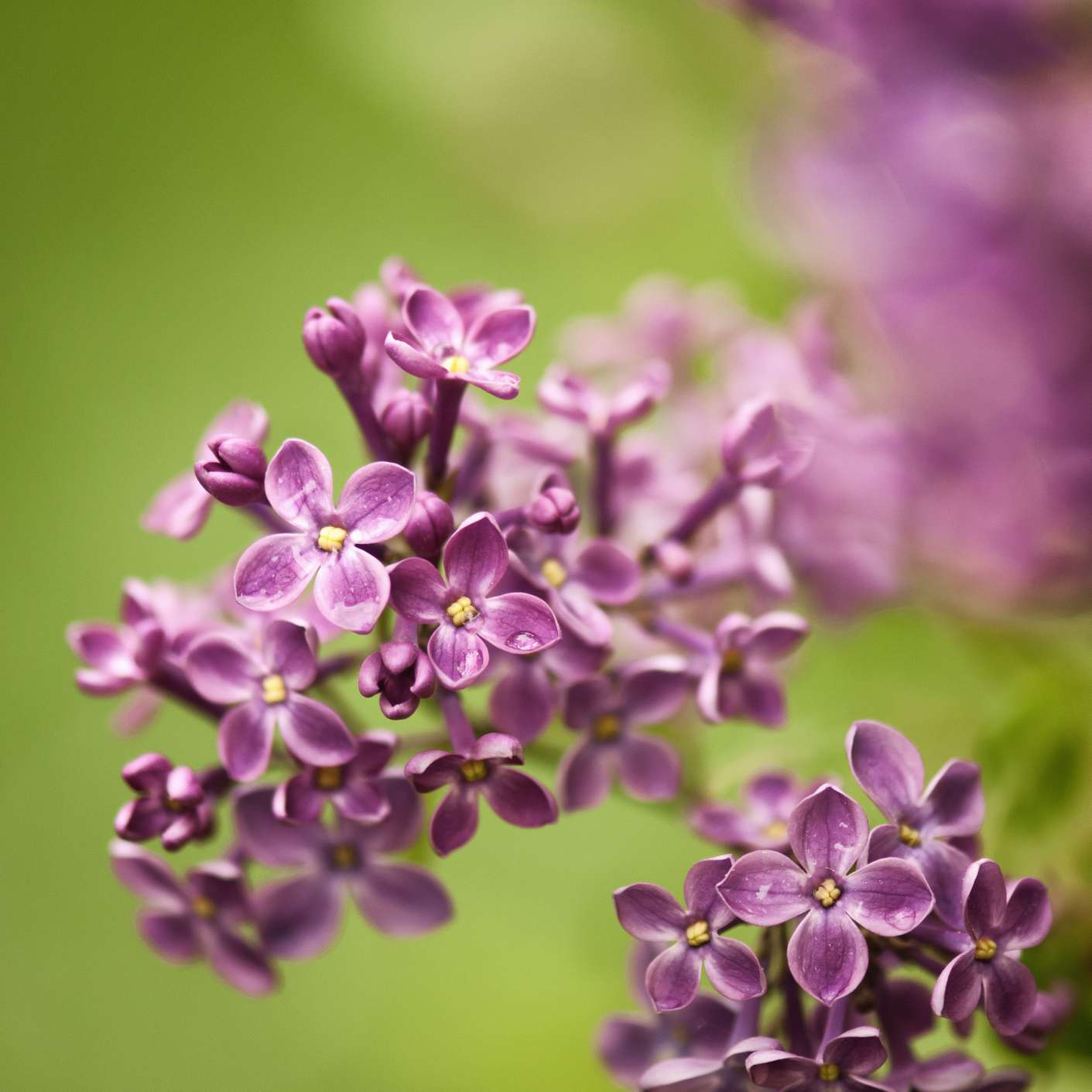 The Declaration lilac with purple blooms