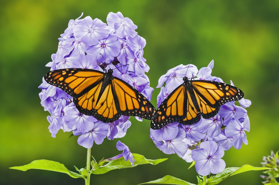 Two monarch butterflies perched on garden phlox plant.