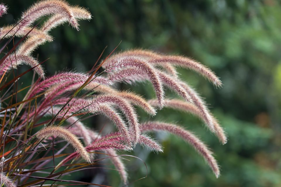 Purple Fountain Grass Closeup