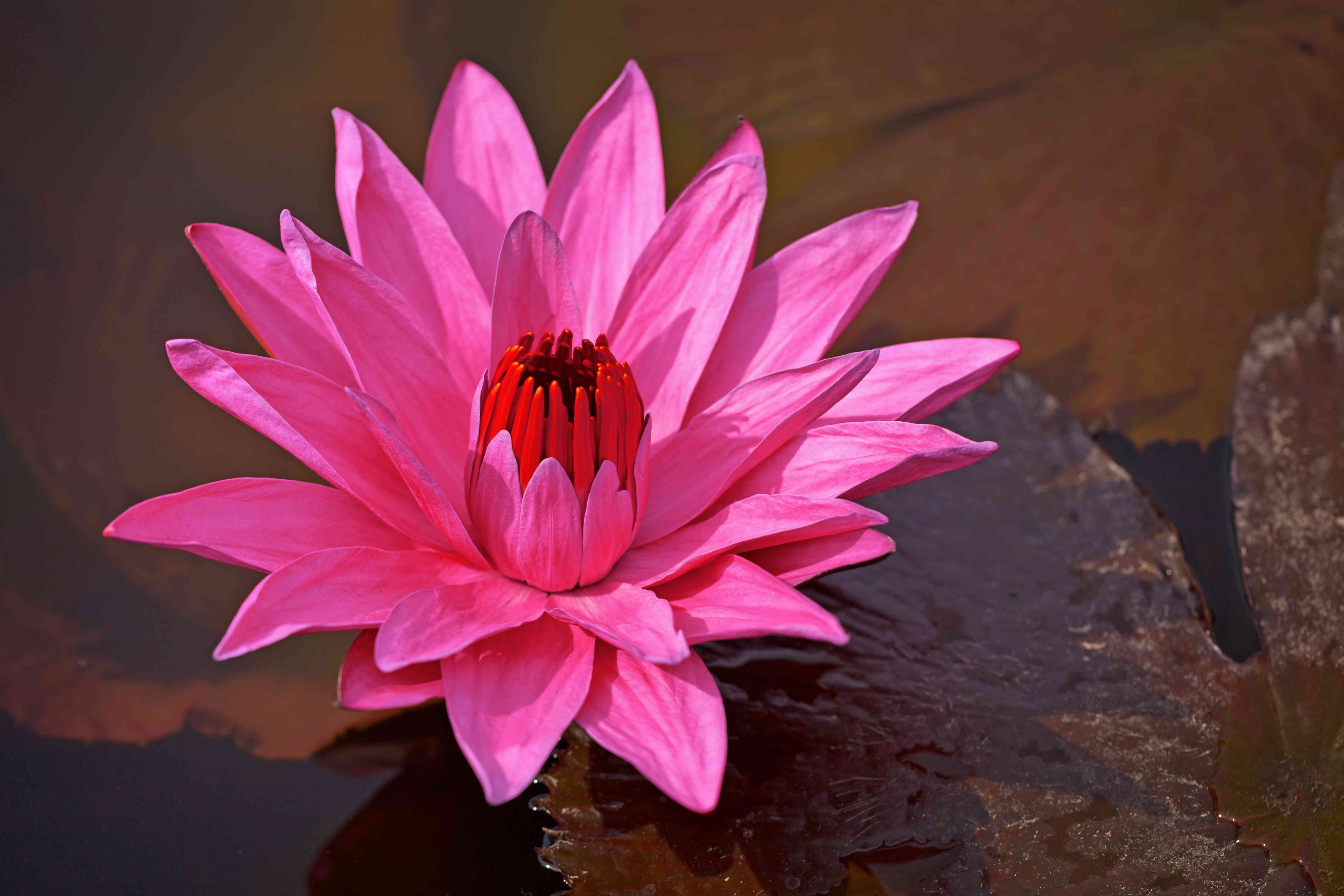 The Nymphaea Red Flare water lily