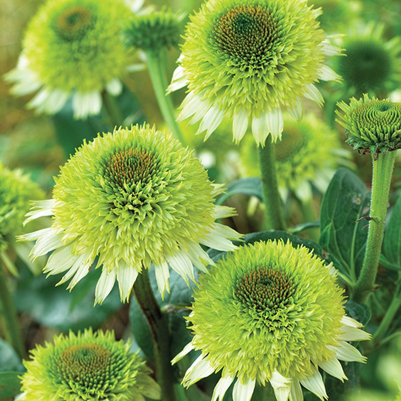 24 Great Varieties Of Echinacea Coneflower