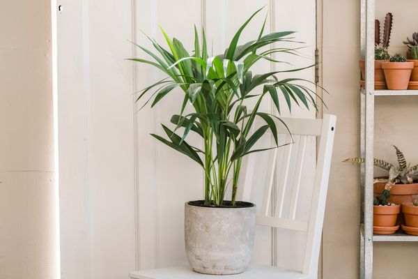kentia palm in a home