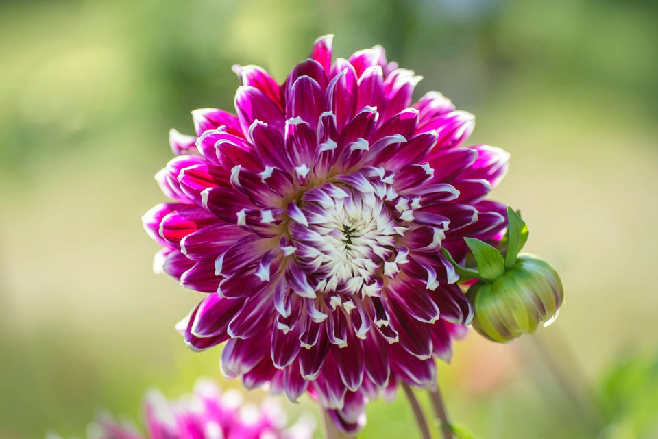 Dahlia vancouver plant with pink flowers and white center and bud closeup