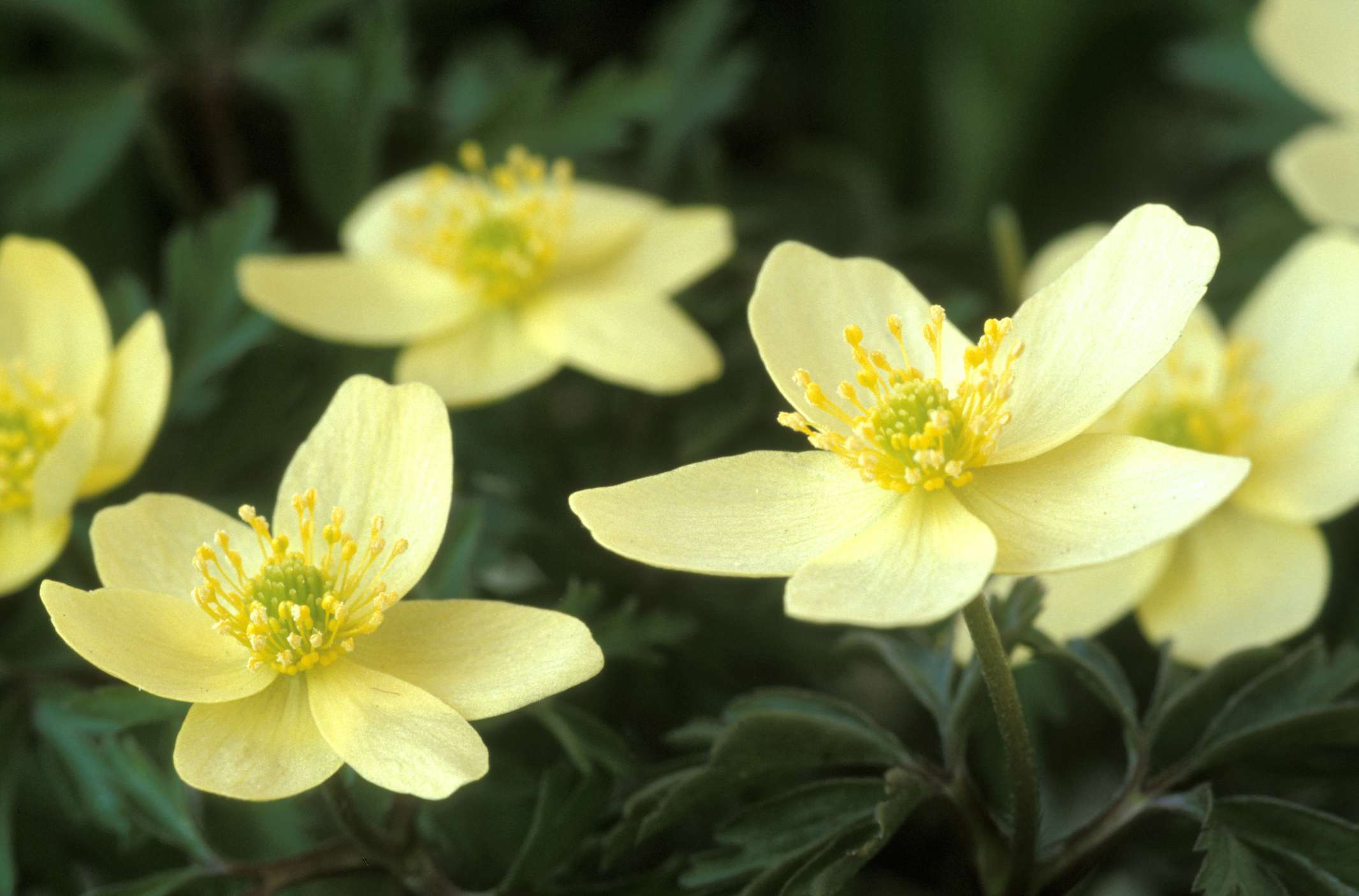 Anemone Pallida