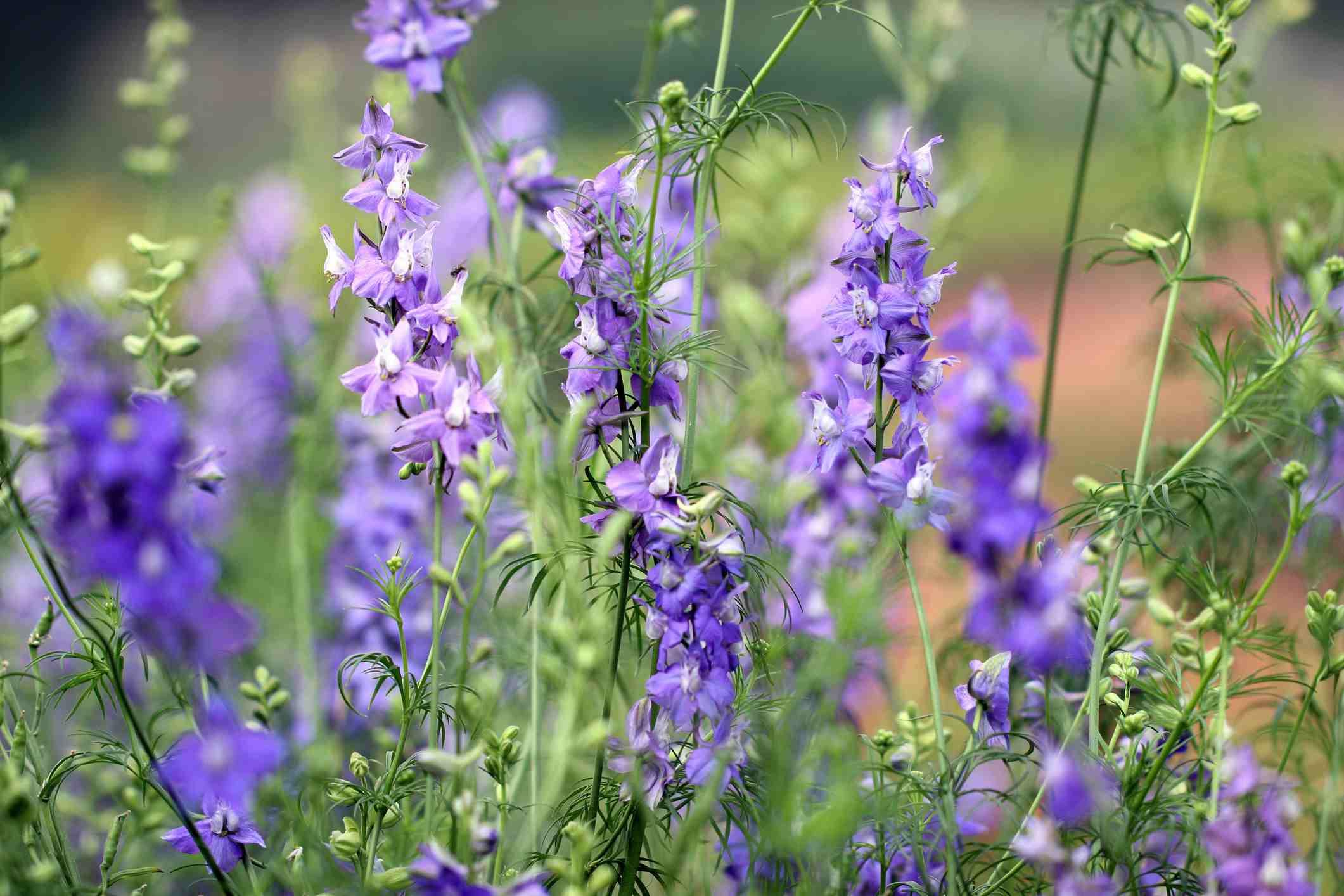 Annual Larkspur Flowers