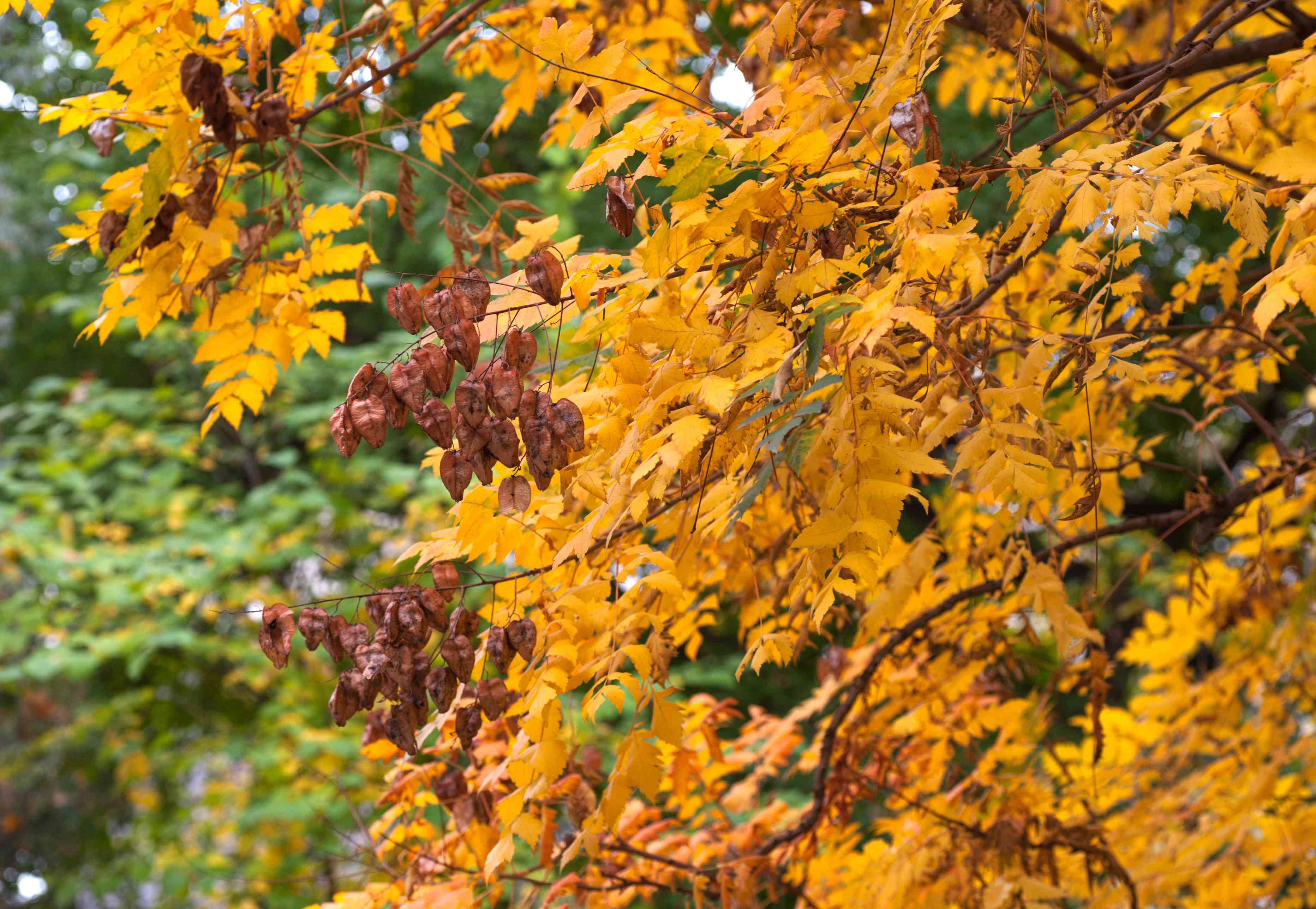 Chinese flame tree branches with golden yellow leaves and brown lantern-like seed capsules