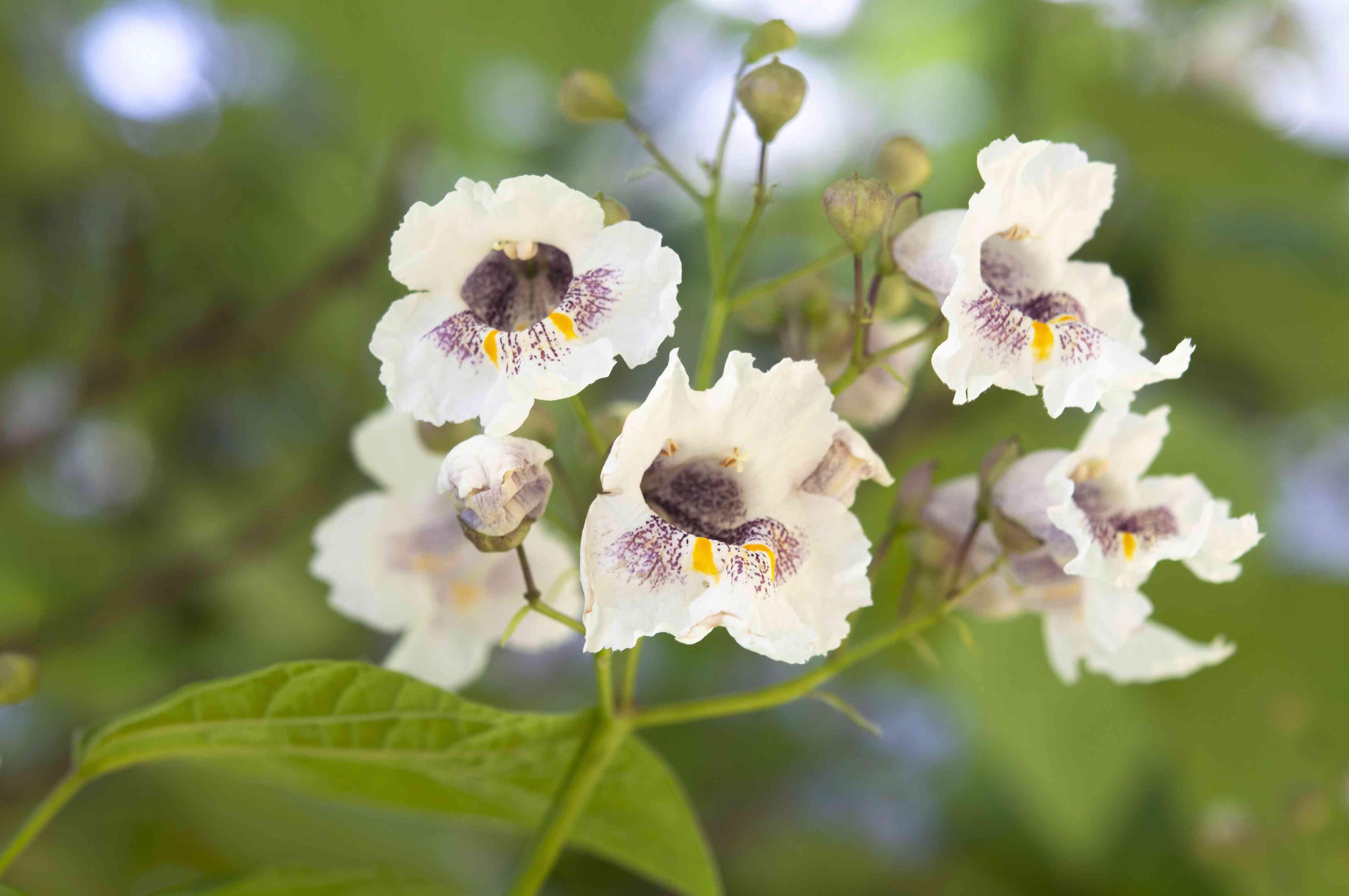 catalpa tree blooms