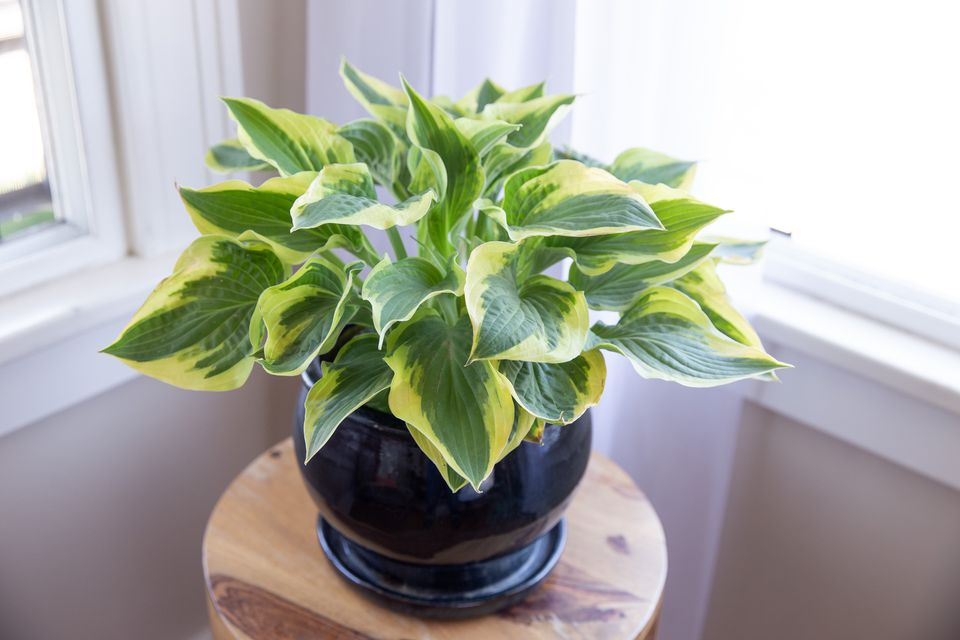 potted hosta
