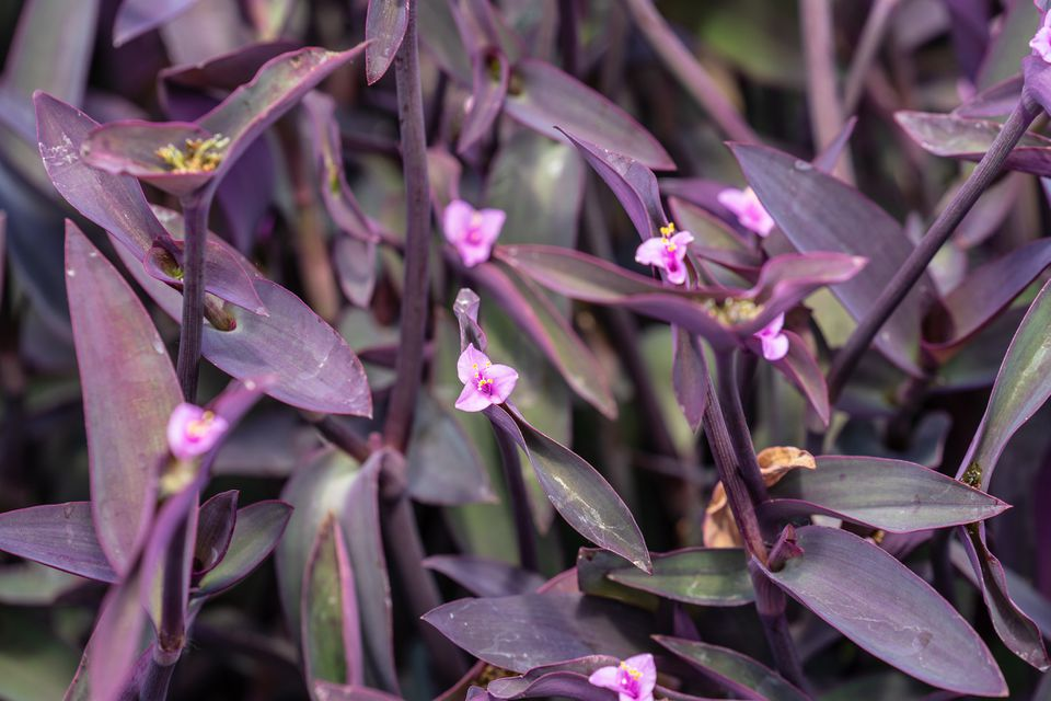 Close up of the flowers and foliage of Purple Heart Flowers (Tradescantia pallida)