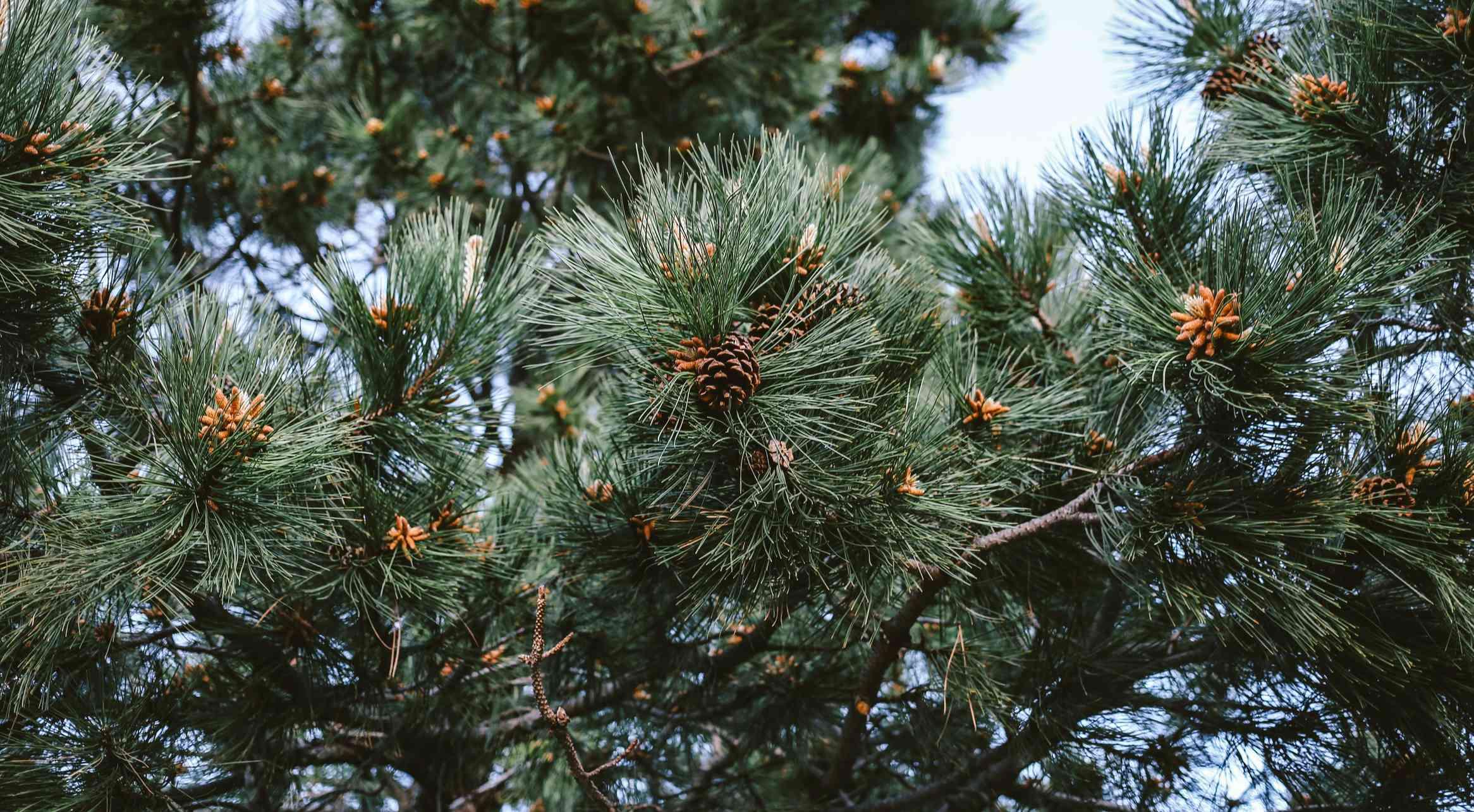 Pond pine tree