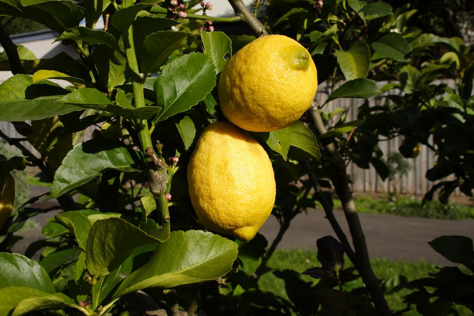 Close up of two lemons on a Eureka Lemon Tree