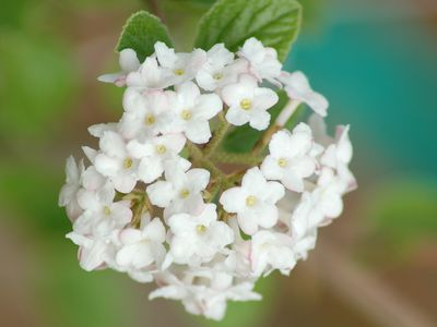 Best shrubs with pink or magenta flowers this viburnum is so fragrant they put spice in its name mightylinksfo