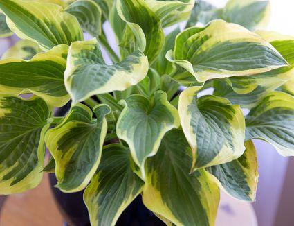 closeup of hosta leaves