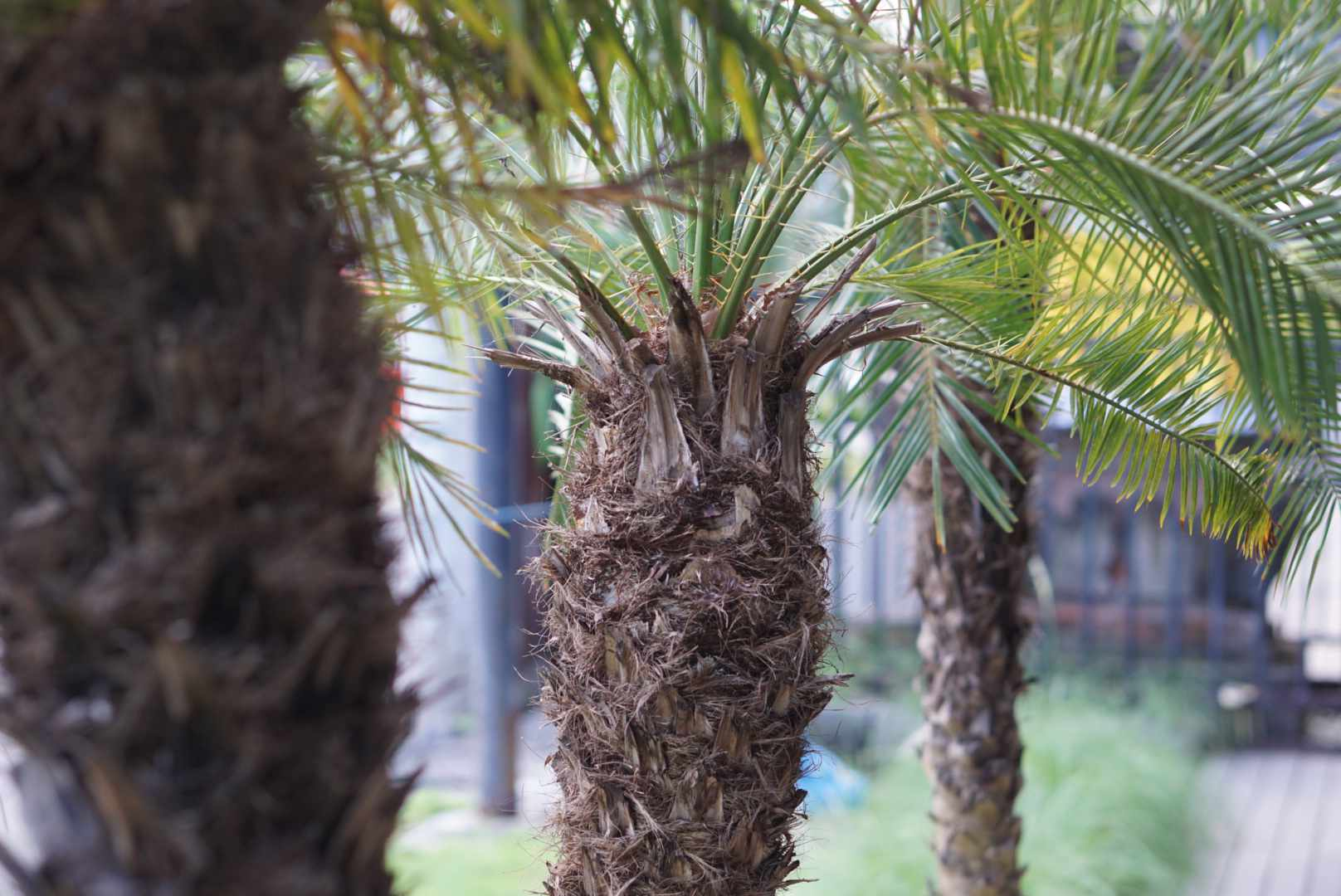 Robellini palm trees with spiky trunk and fronds growing from top