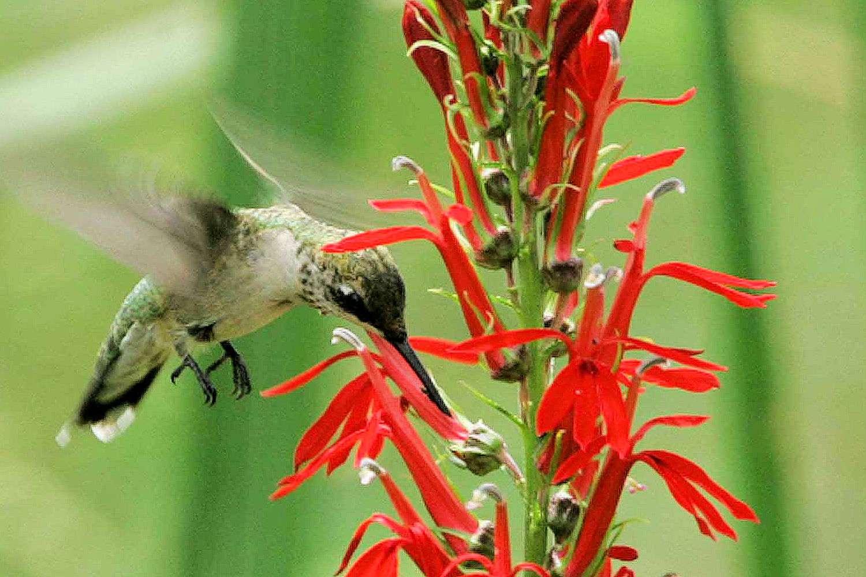 Top 10 flowers that attract hummingbirds cardinal flower mightylinksfo