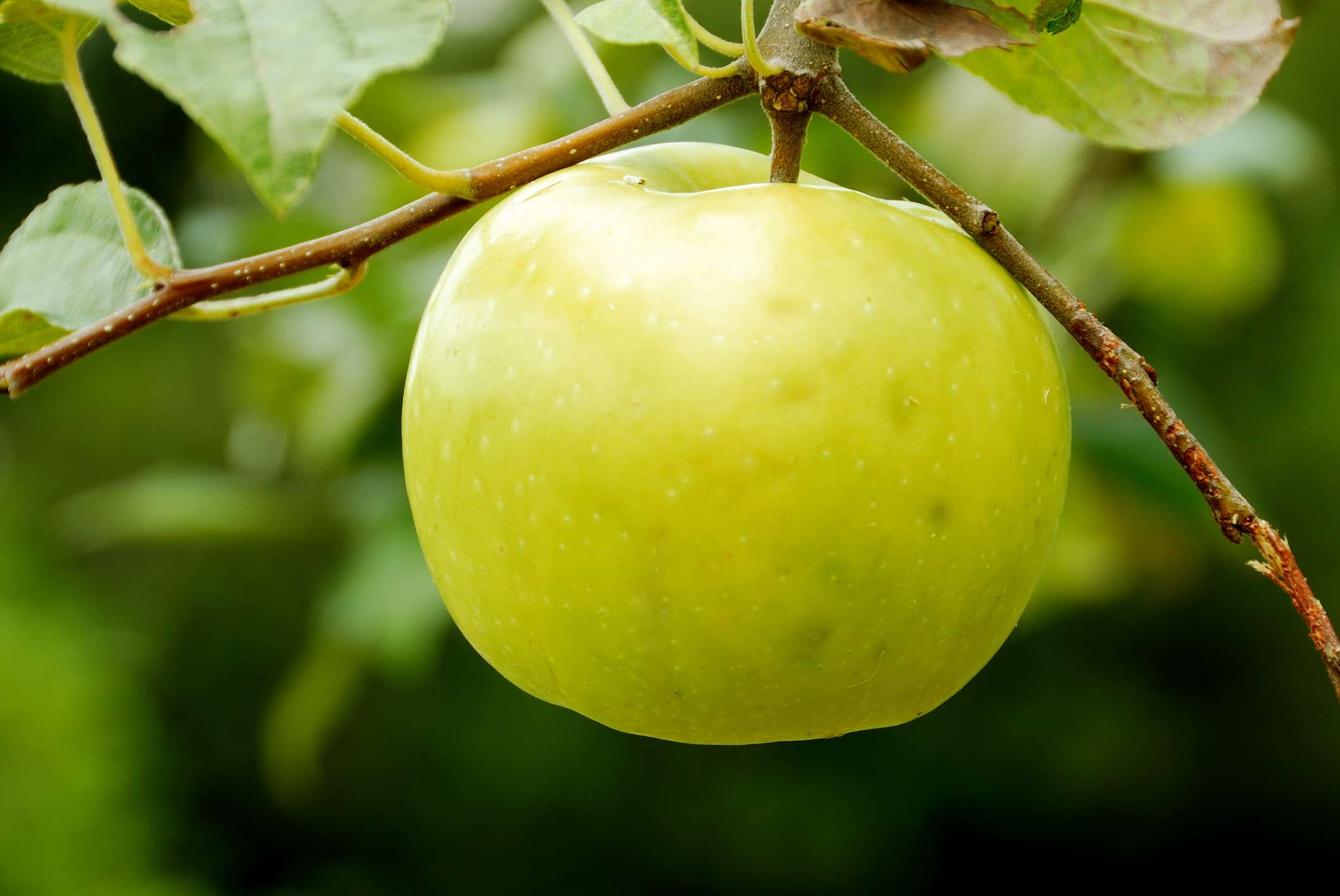 Lodi apple closeup.