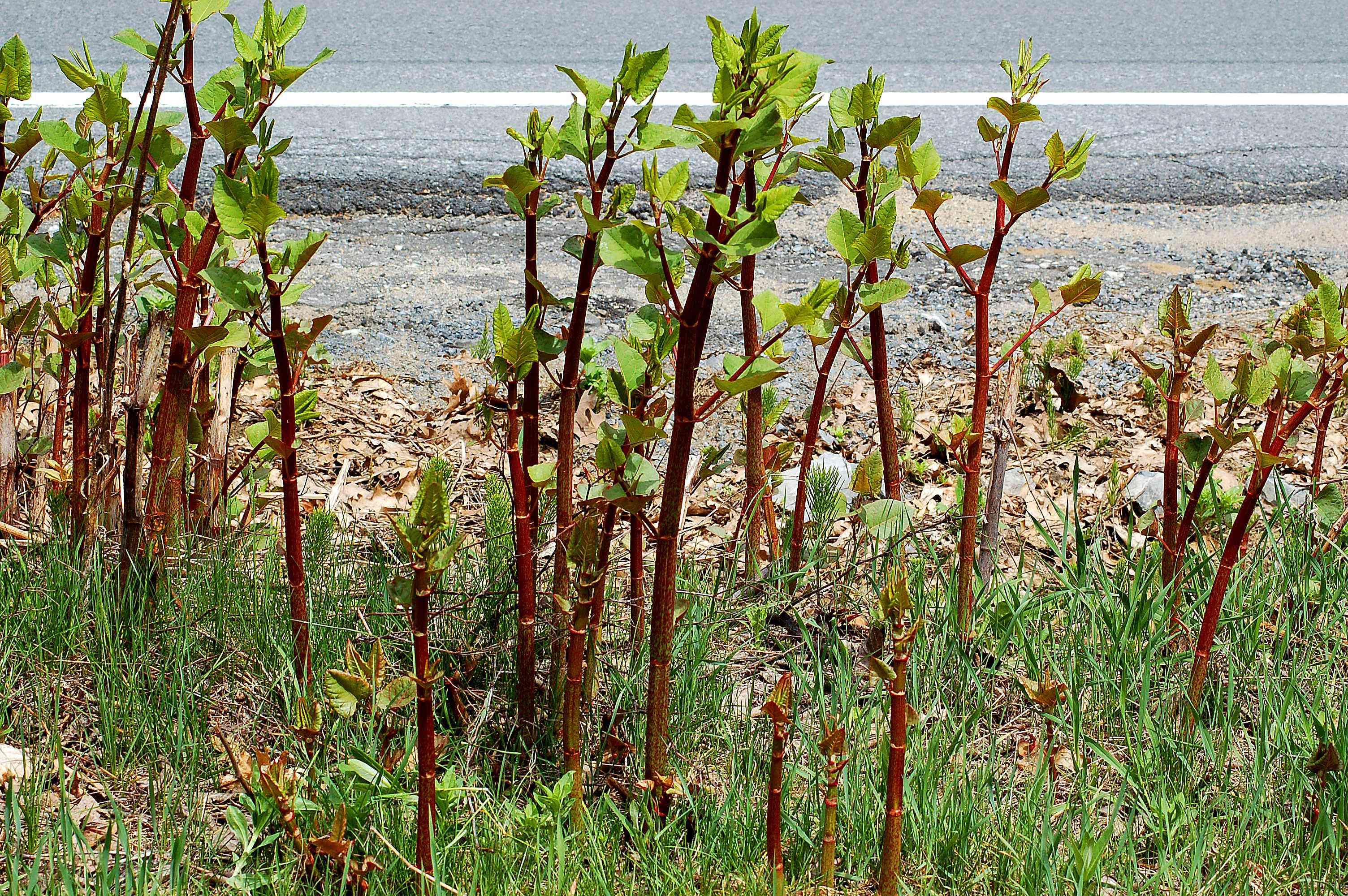 Japanese knotweed growing near a road.
