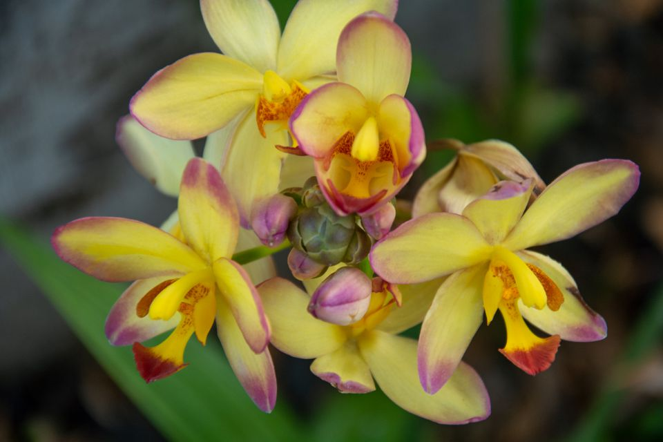 Spathoglottis orchid plant with yellow flowers and pink tips clustered together closeup