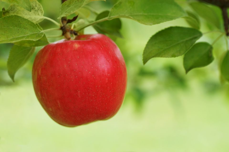 Red Honeycrisp apple hanging from tree.