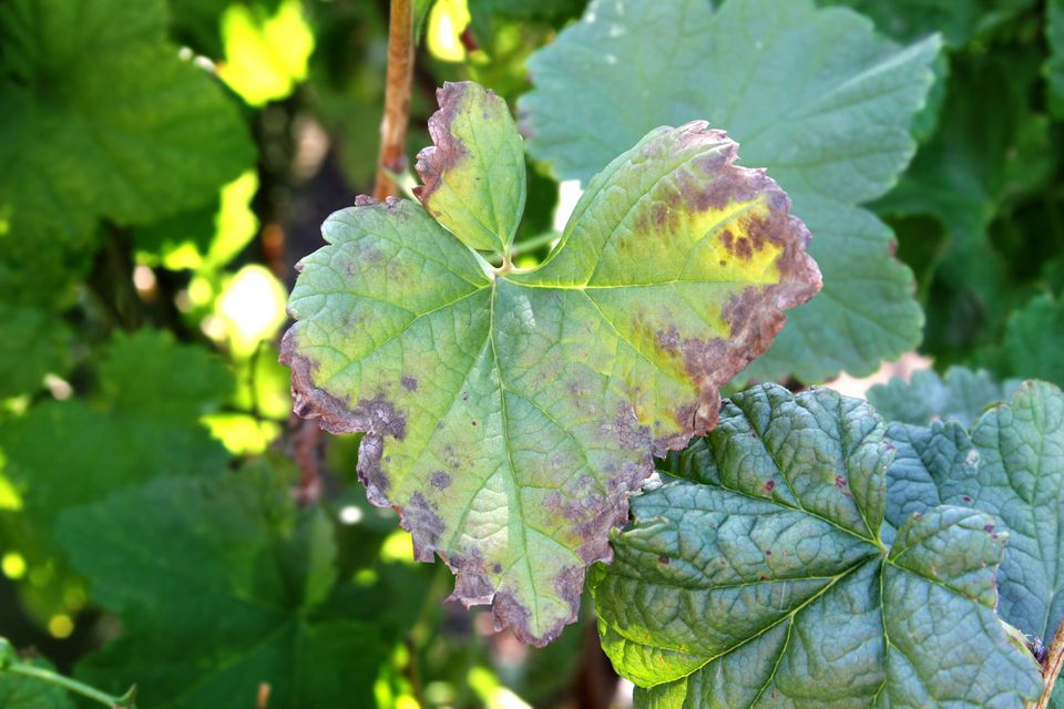 Black currant disease. Anthracnose on the leaf