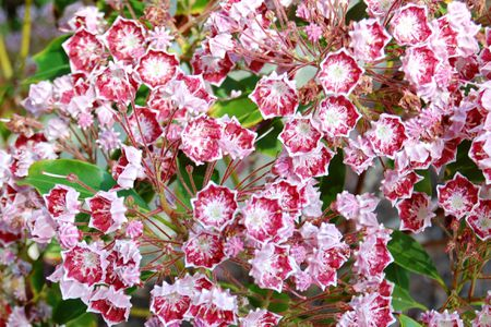 15 great flowering shrubs for your landscape laurel shrub with red flowers with white centers mightylinksfo