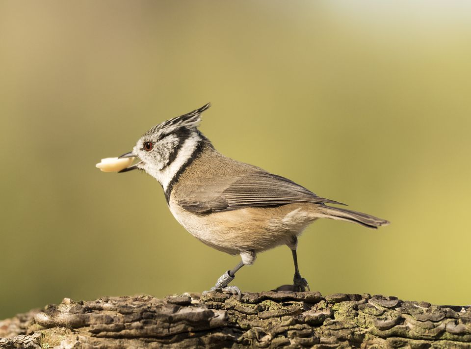 Crested Tit (Lophophanes cristatus) holding a seed in its beak