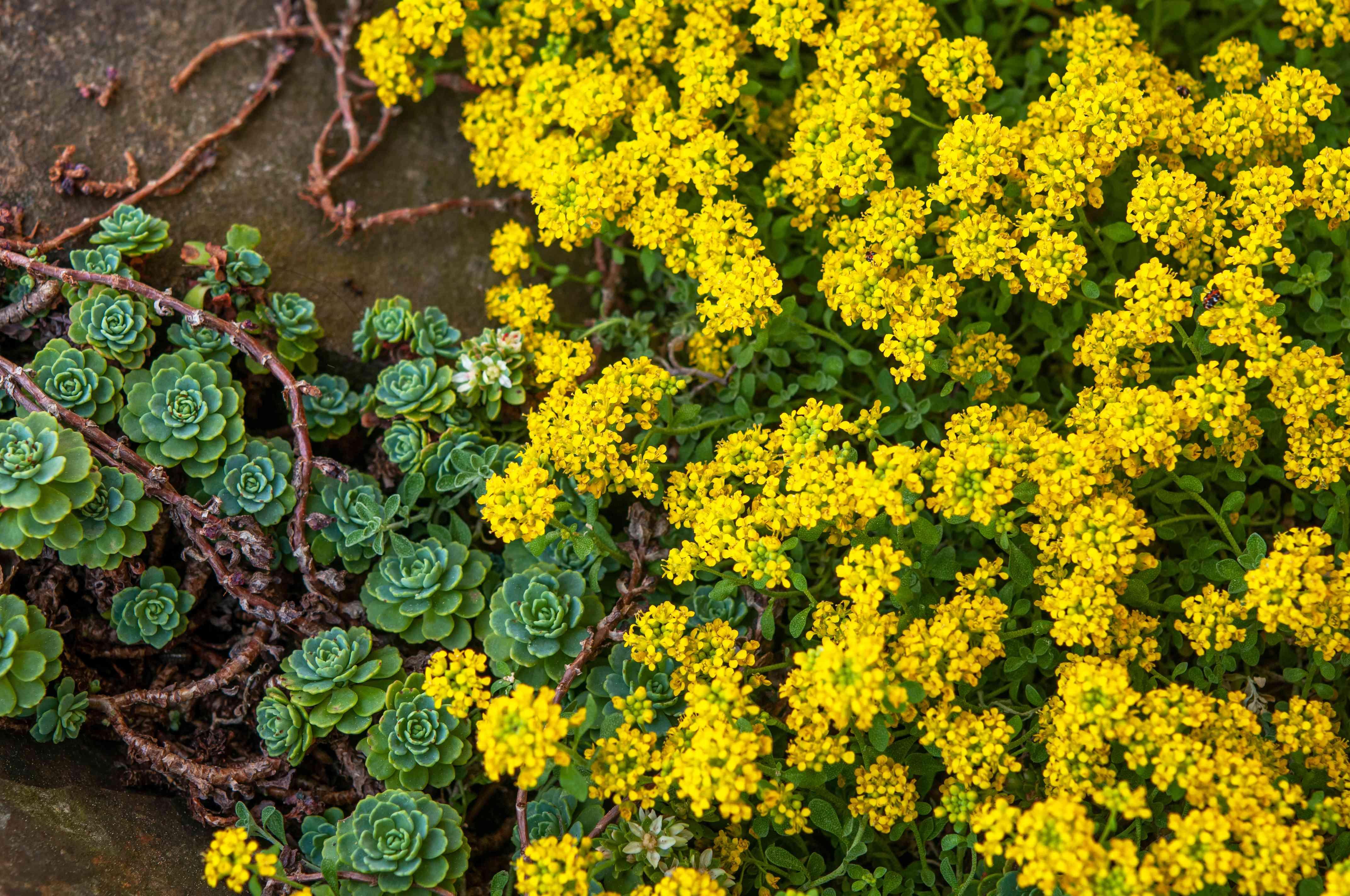 yellow alyssum and succulents