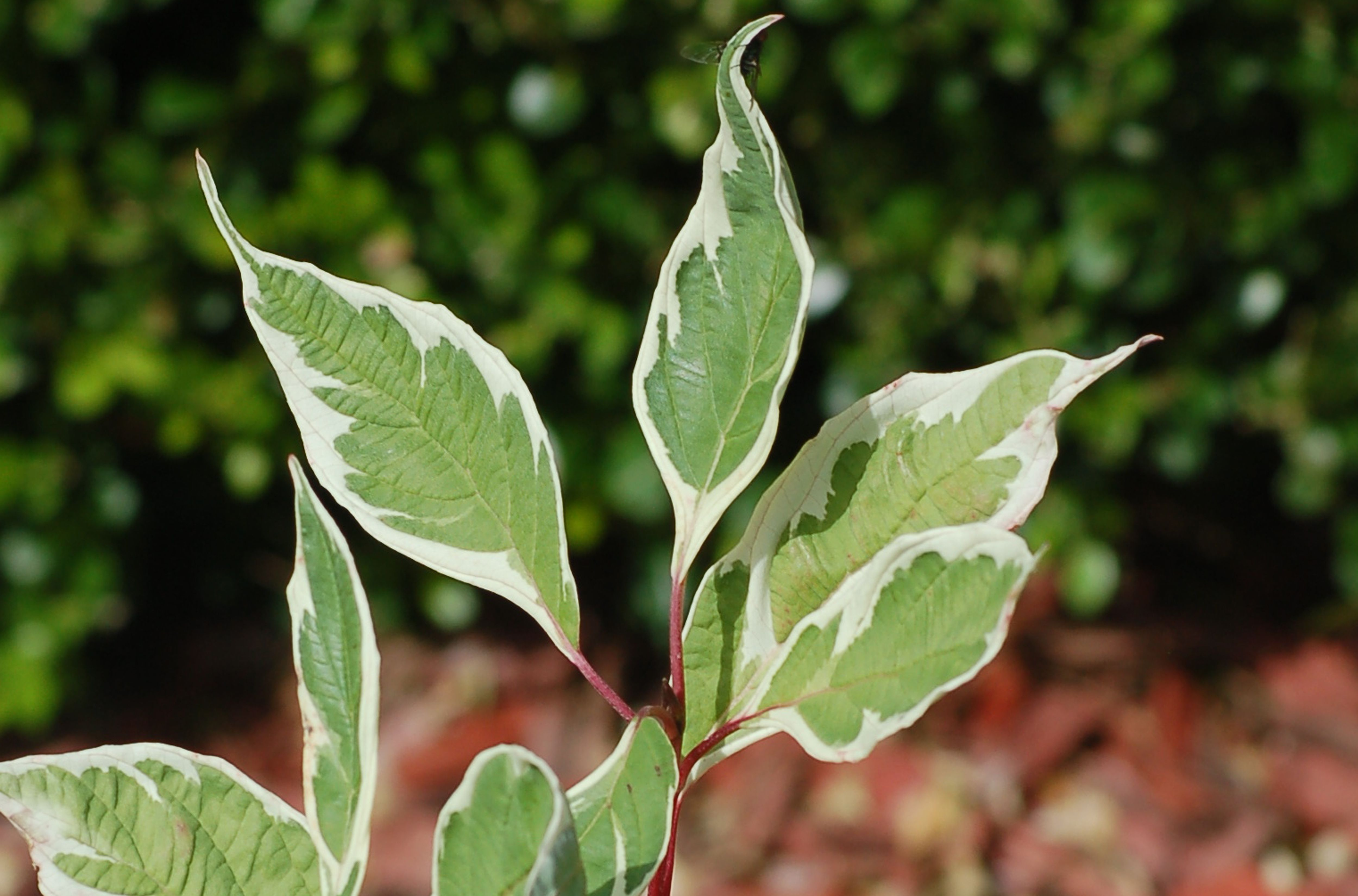 Closeup of variegated leaves of Elegantissima cultivar of redtwig dogwood.