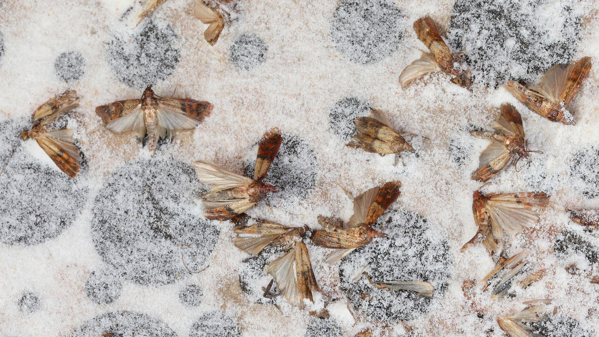 Pantry Pests Indianmeal Moths In Food