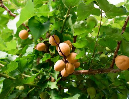 Apricot tree with tan apricot fruit on branches with bright green leaves