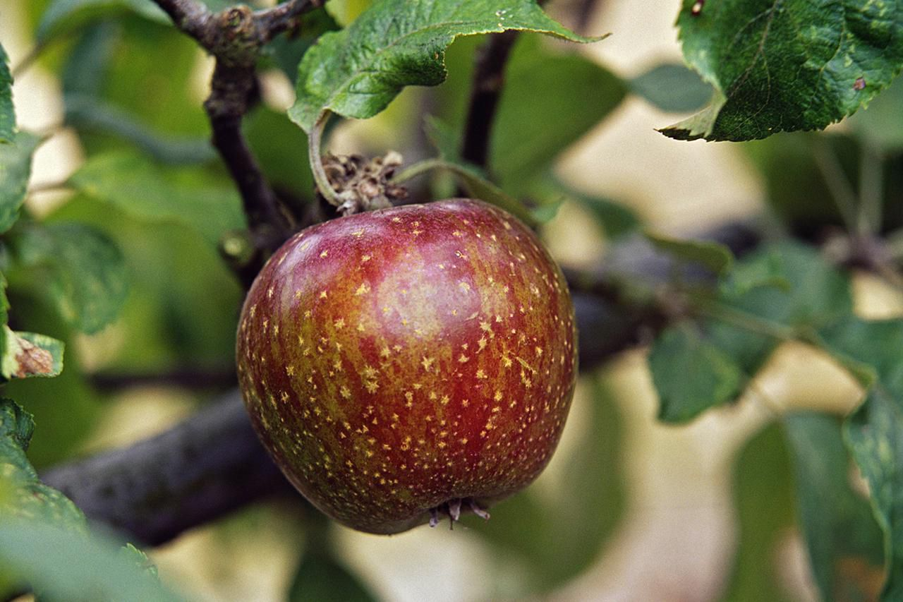 Can You Grow Apples From Seeds