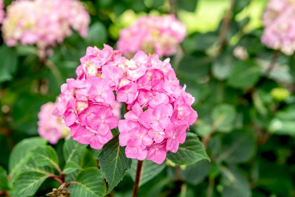 Bloomstruck hydrangea plant with bright pink flower clusters on end of stem and veined leaves