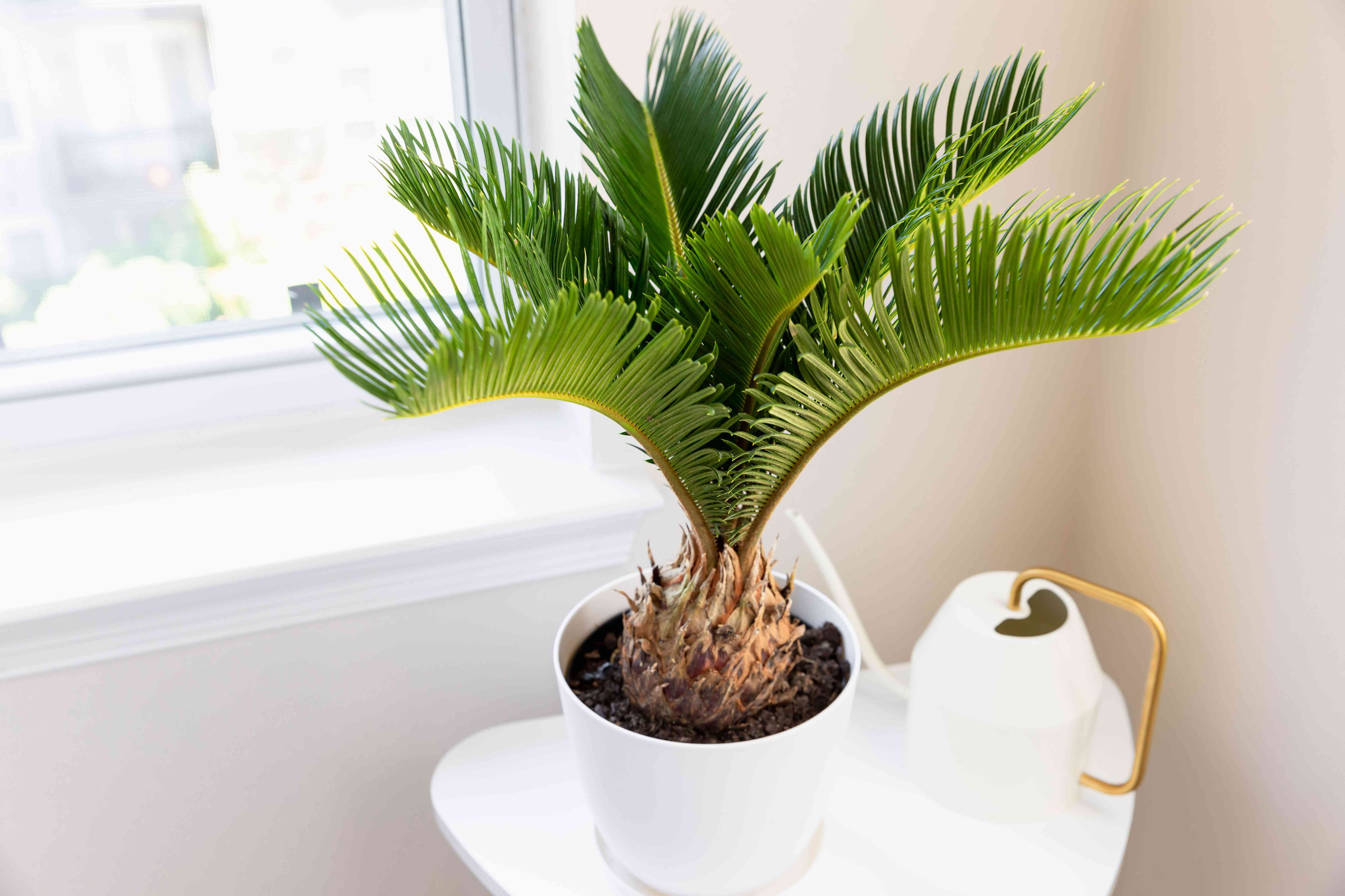 Sago palm in white pot with shaggy pineapple-like trunk and feather-like fronds next to white watering can and window