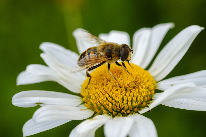Albania, Valbona-National Park, hoverfly, Syrphus sp., on flower