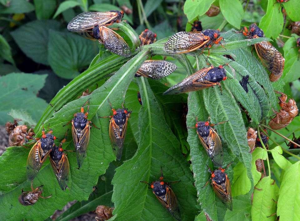 A gathering of adult Brood X cicadas