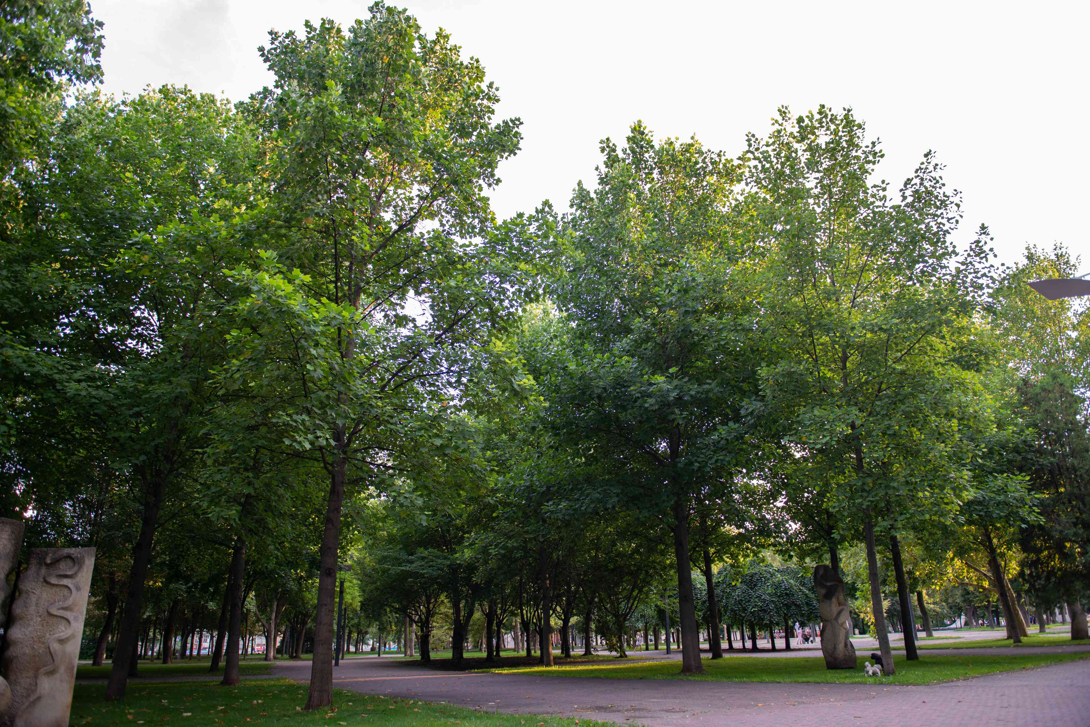 Tulip trees with tall and thin trunks with yellow-green leaves in park