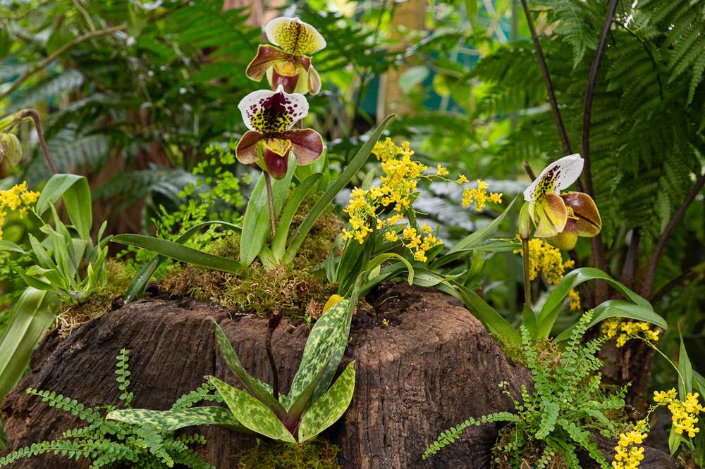 Lady slipper orchids on tree stump with spotted white and green petals and red pouches surrounded by long leaves and ferns