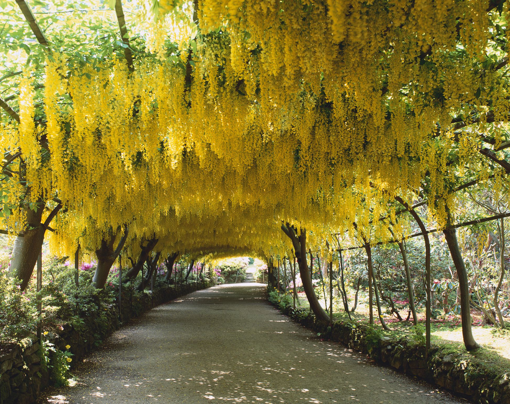 Golden chain trees pleached to form an archway.
