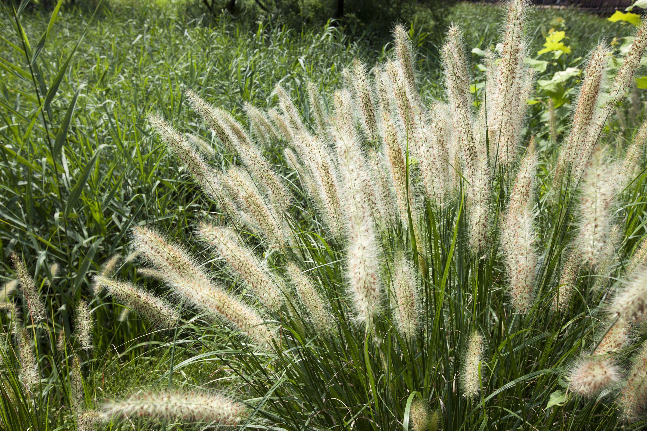 Fountain grass (Pennisetum)