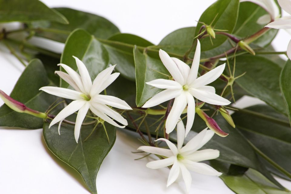 10 recommended jasmines for home gardens jasmin flowers on a branch on white background mightylinksfo