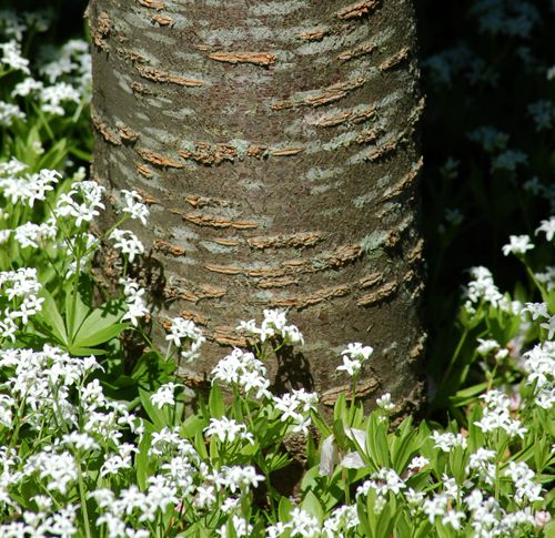 Picture of sweet woodruff. As this picture of sweet woodruff shows is a groundcover.