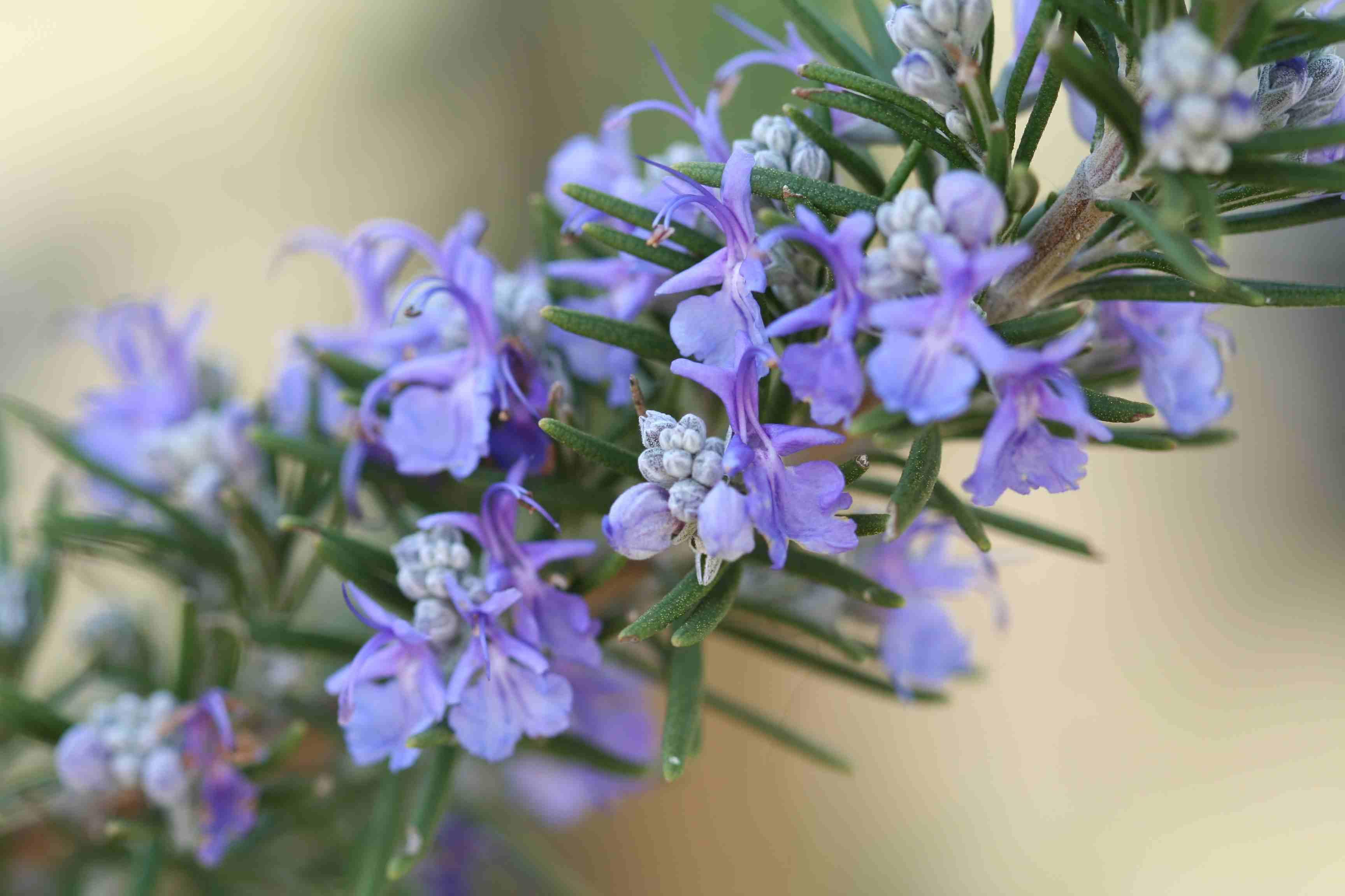 Cerca de la planta y flores de romero