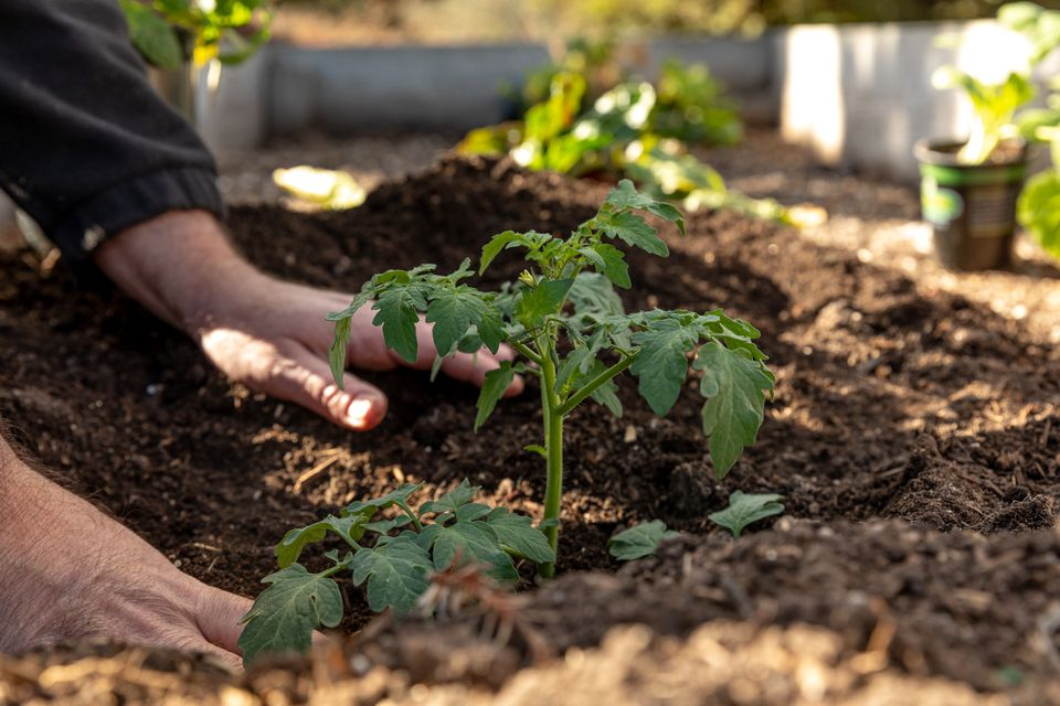 person planting tomato transplants
